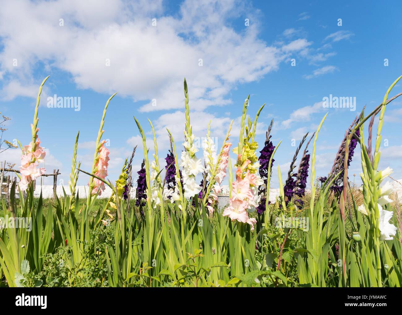 Gladioli Uk Stock Photos & Gladioli Uk Stock Images - Alamy