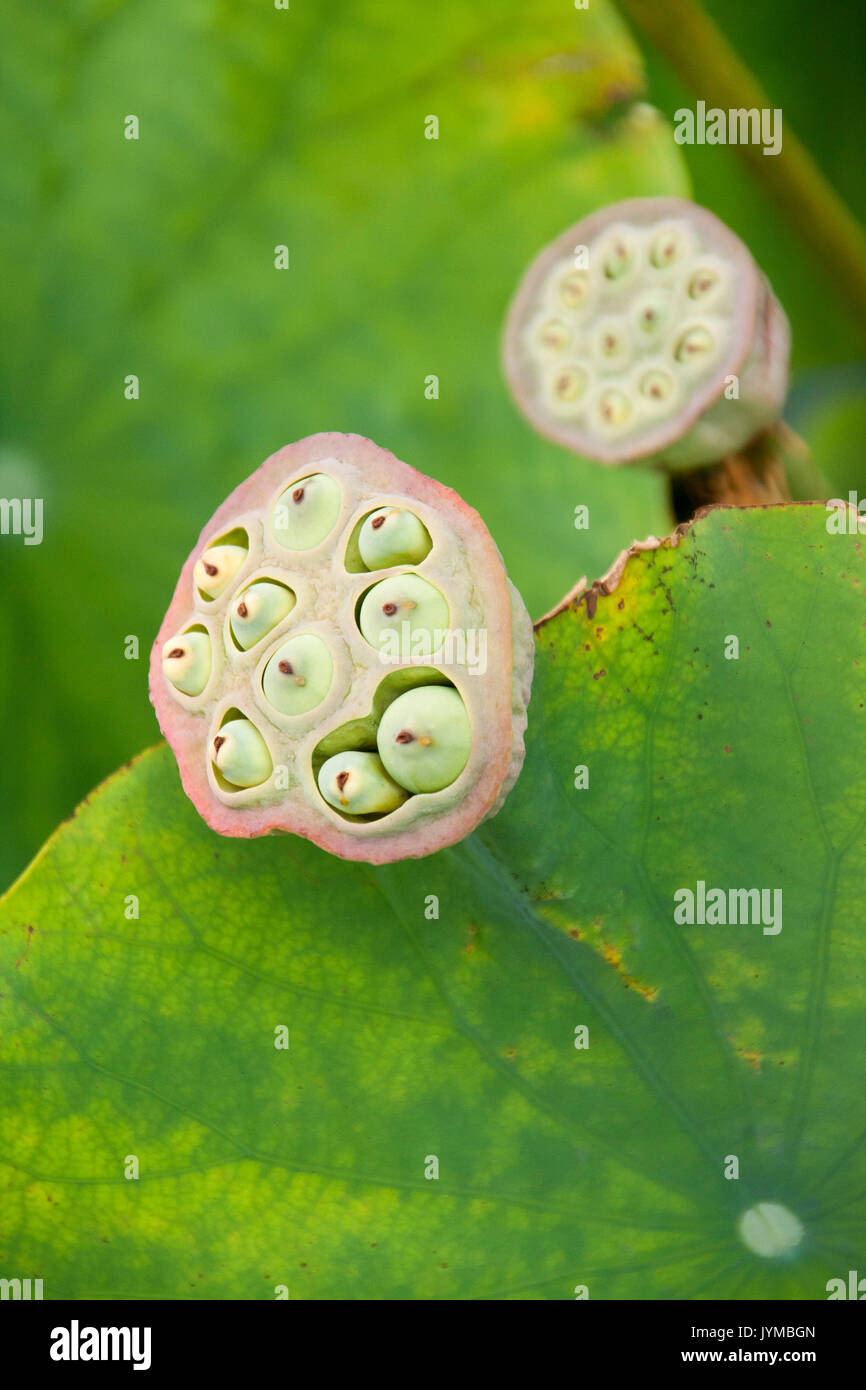 Seed Pods Of The Lotus Flower Stock Photo 154726789 Alamy