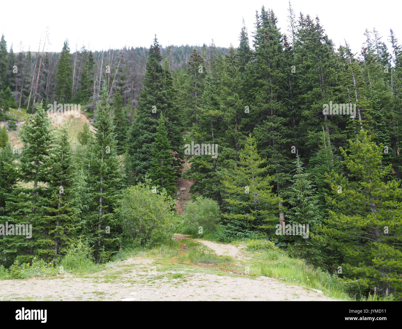 evergreen trees growing in the mountains in Colorado - Stock Image