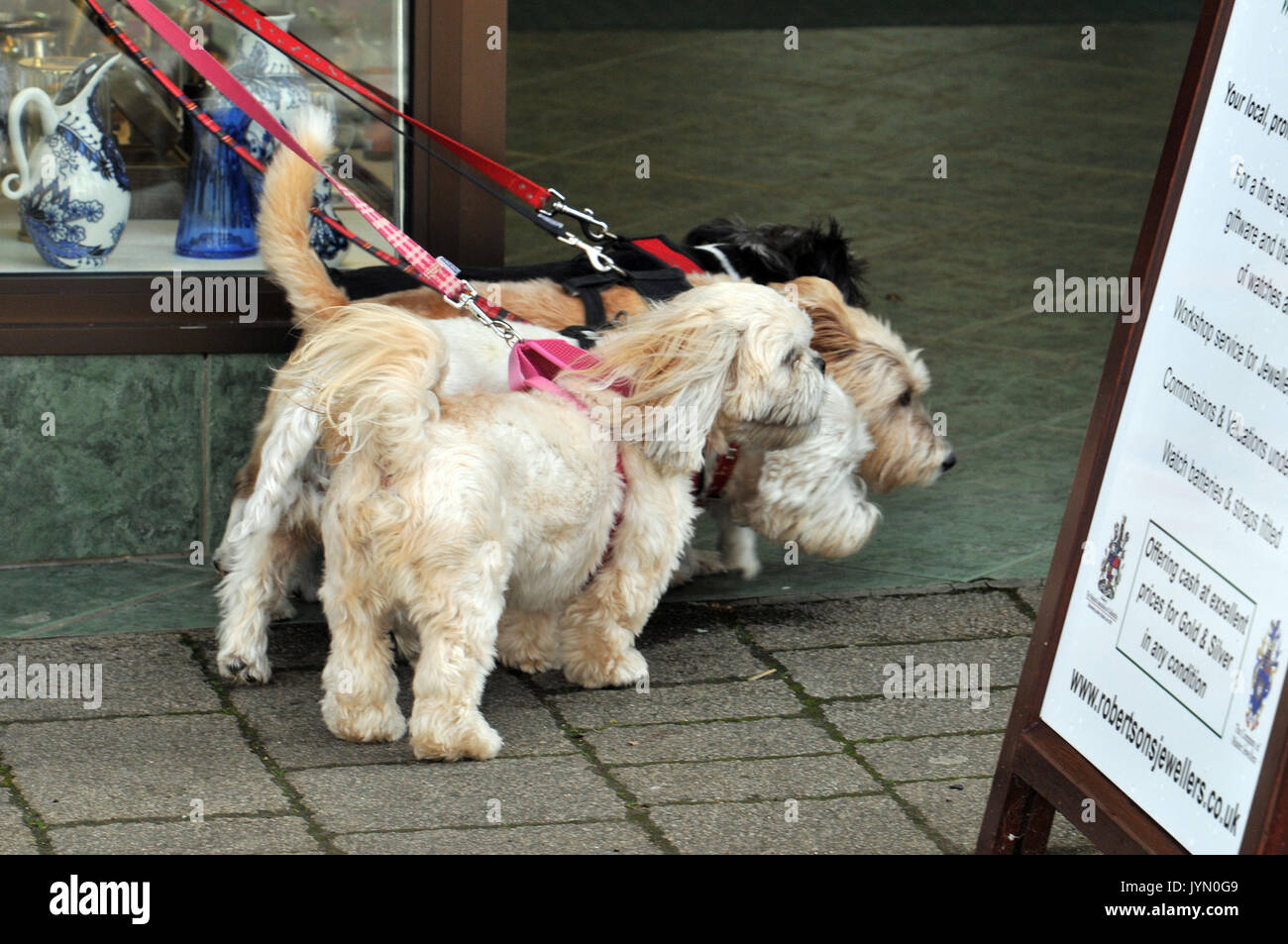 four terriers 4 on leads being walked by responsible dog owners multiple dogs walkies small dogs and pups puppies - Stock Image