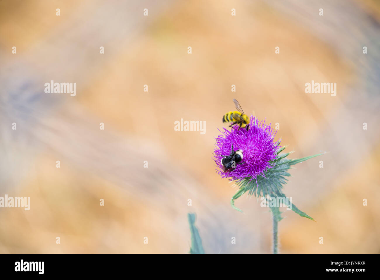Two Bees and Pollen on Purple Thistle Flower - Stock Image