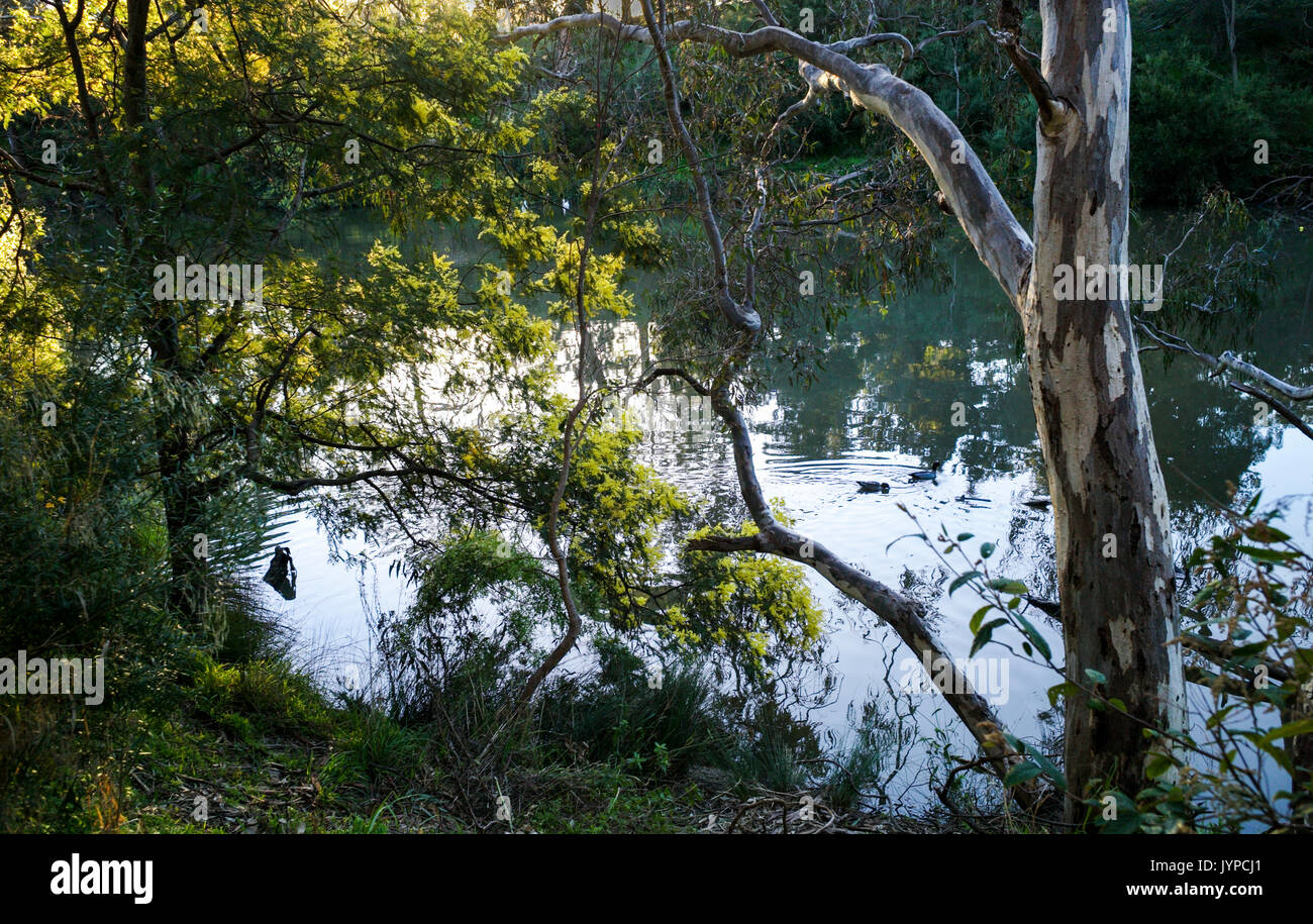 Yellow wattle and reflections in the Yarra River in late afternoon sunlight. Melbourne, Victoria, Australia Stock Photo