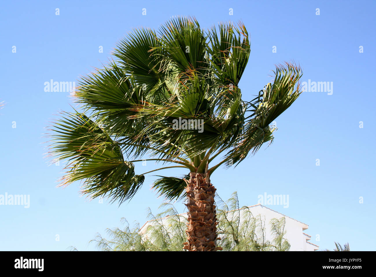 Palm tree under a strong wind - Stock Image