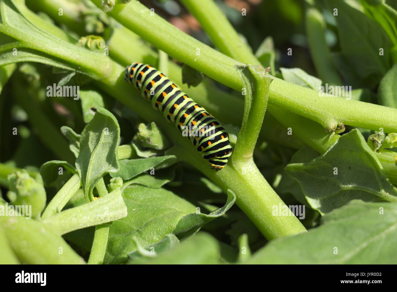Swallowtail butterfly caterpillar on a harvested crop Stock Photo