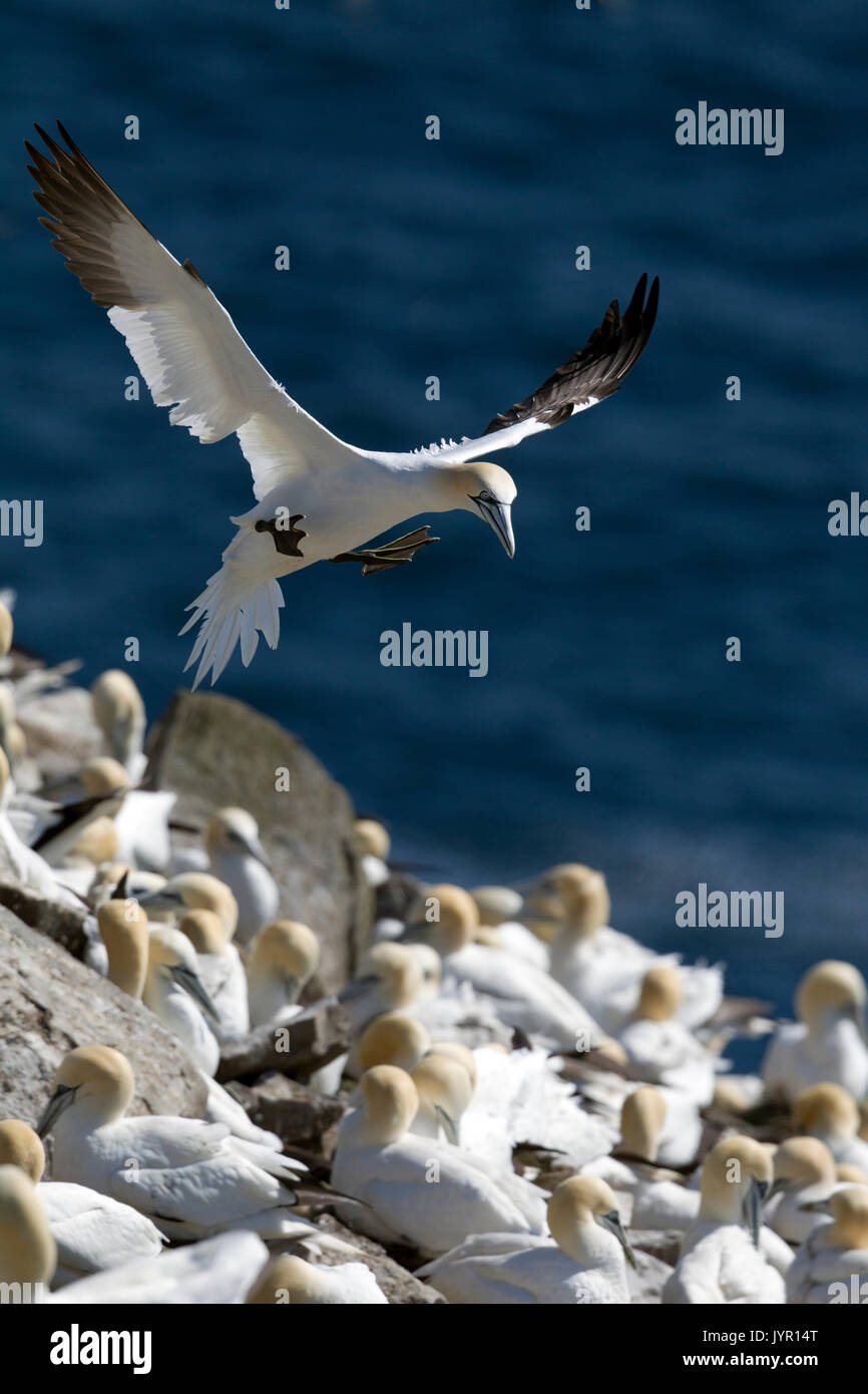 Northern Gannet About to Land in Colony - Stock Image