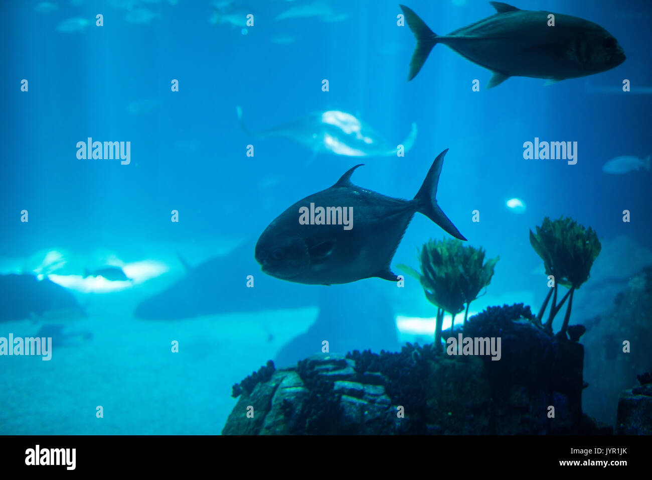 Fish swimming in a reef with blue ocean water - Stock Image