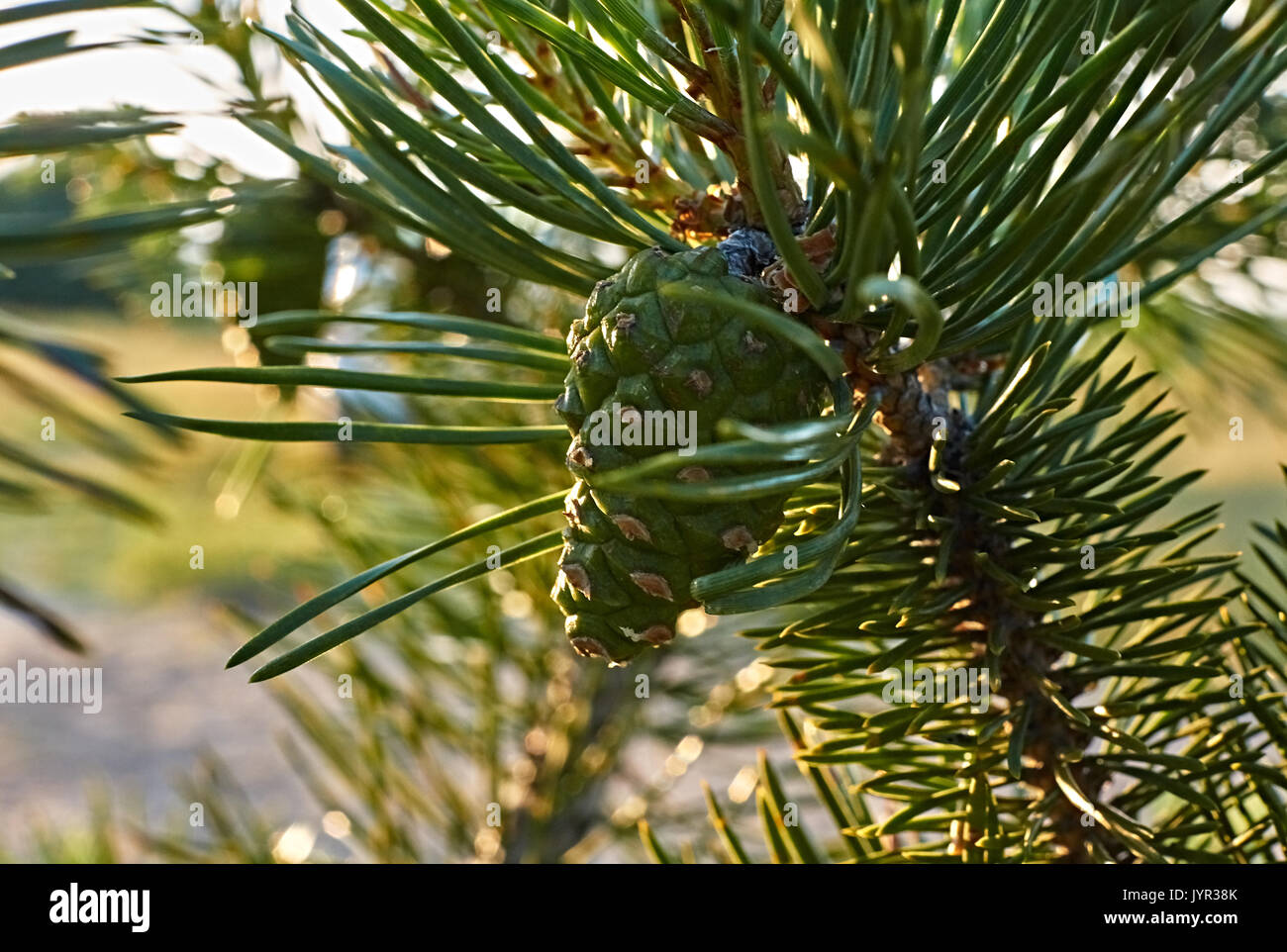 On the branch of spruce there is a green cone. Close-up. Macro. Kostroma, the Golden Ring of Russia. Landscape, nature, summer, evening Green fir cone - Stock Image