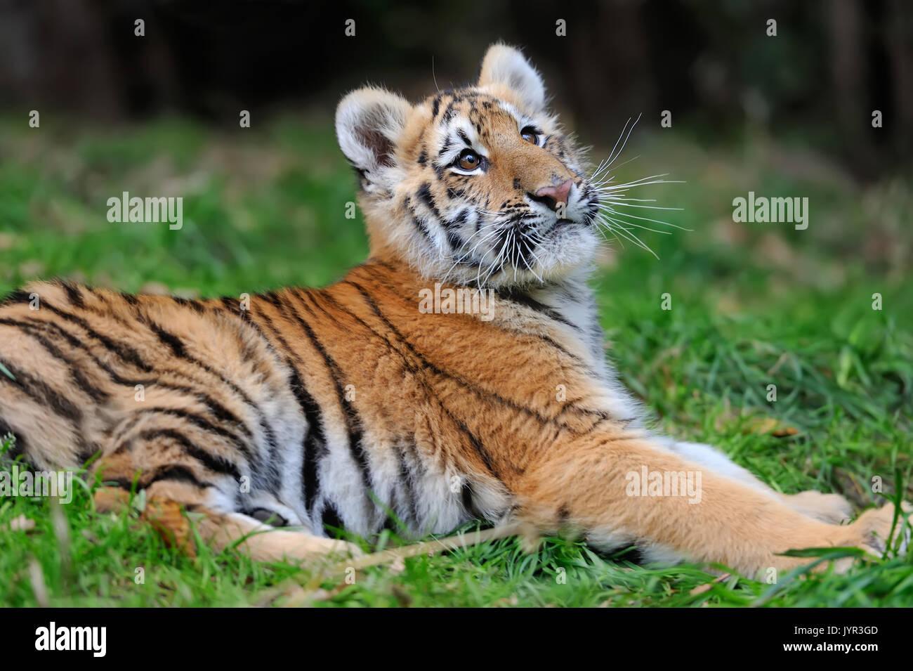 Close cute siberian tiger cub - Stock Image