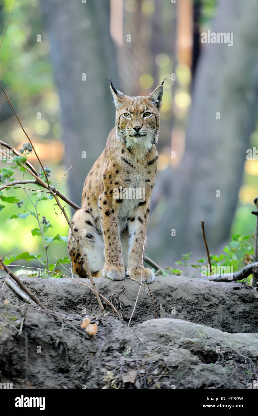 Close Eurasian Lynx in the forest Stock Photo