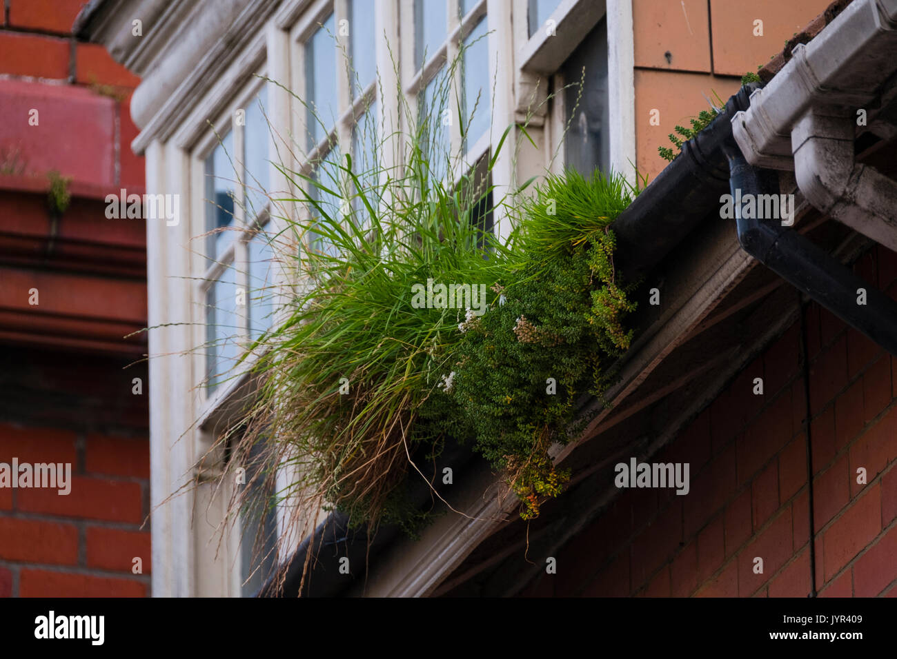 Reclaimed by nature: guttering on houses overgrown and blocked by thick growth of grass, weeds  and other plants Stock Photo