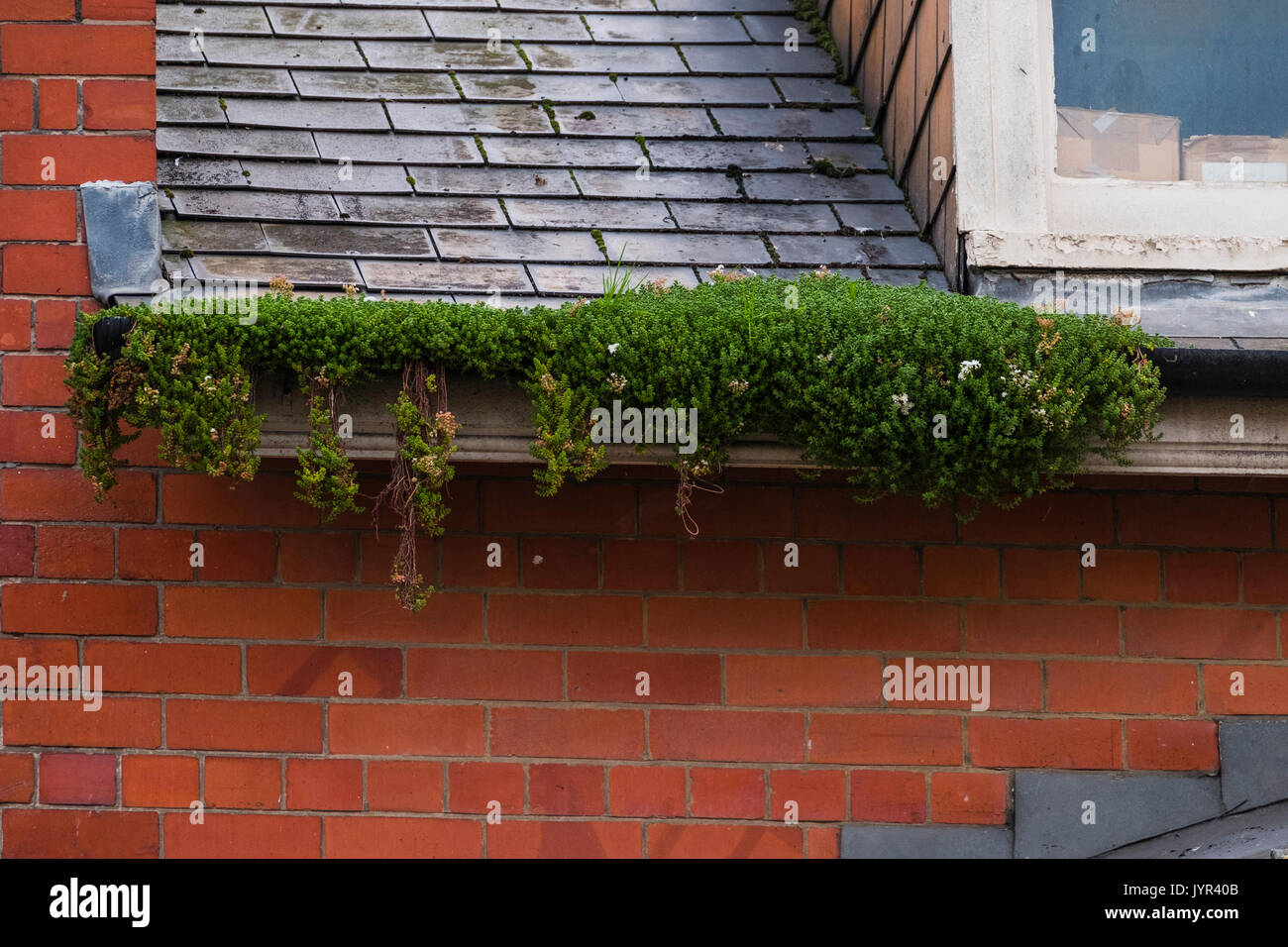 Reclaimed by nature: guttering on houses overgrown and blocked by thick growth of grass, weeds  and other plants - Stock Image