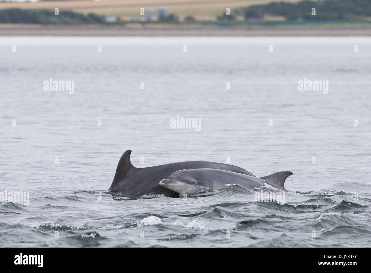 Scottish Bottlenose dolphin mother & youngster in the waters of the Moray Firth - Stock Image