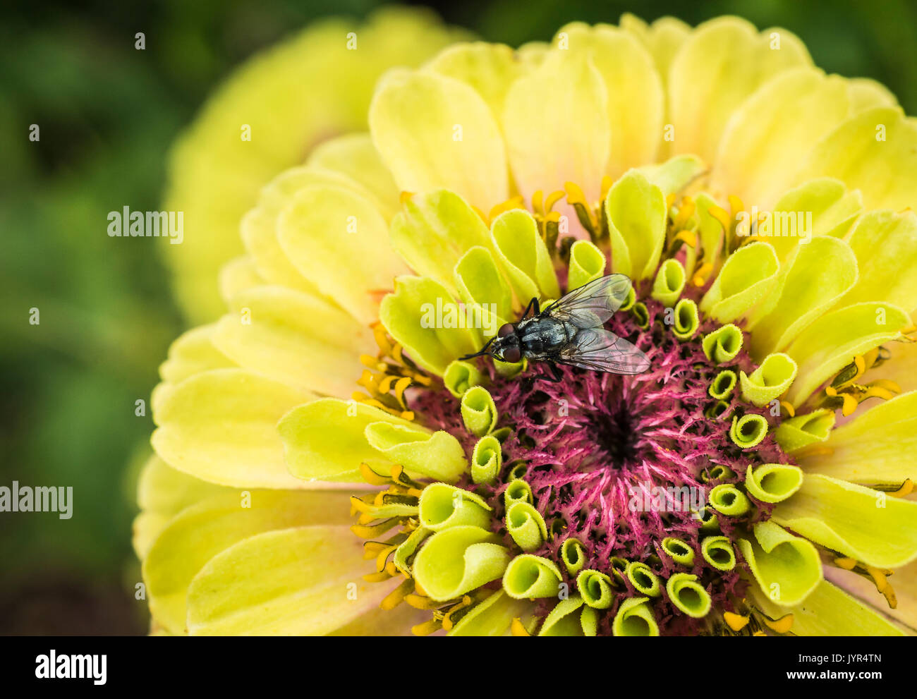 Macro / Close up of a female Morellia Simplex sweat fly sitting on an open bloom of a Zinnia Queen Lime yellow green and pink flower - Stock Image