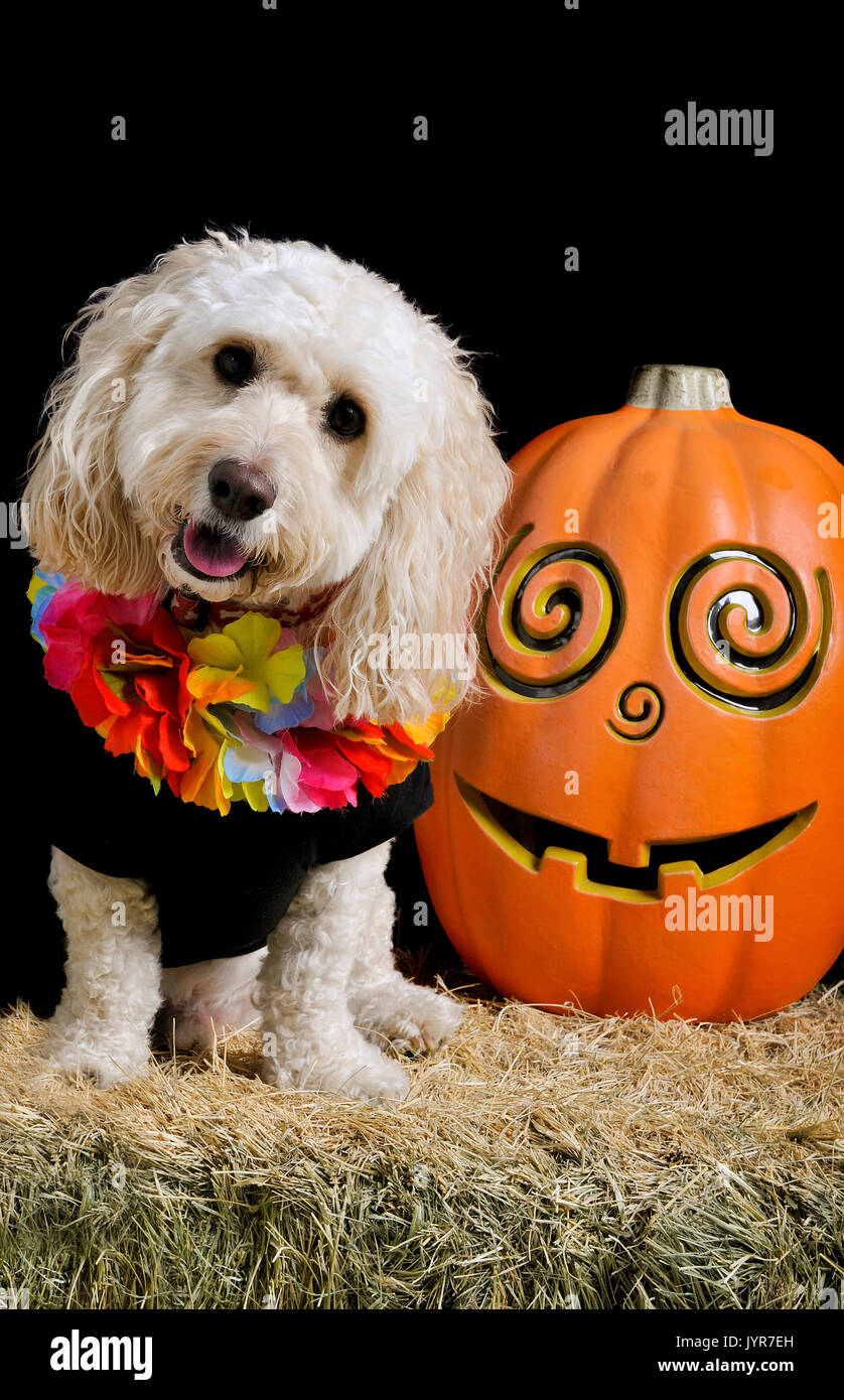 A cute white poodle mix sits on a bale of hay next to a jack-o-lantern smiling and looking at the camera wearing a halloween costume. - Stock Image