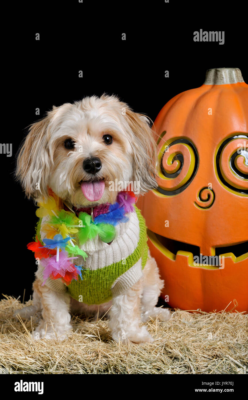 cute small dog in halloween costume sitting next to a smiling pumpkin isolated on black looking straight at the camera