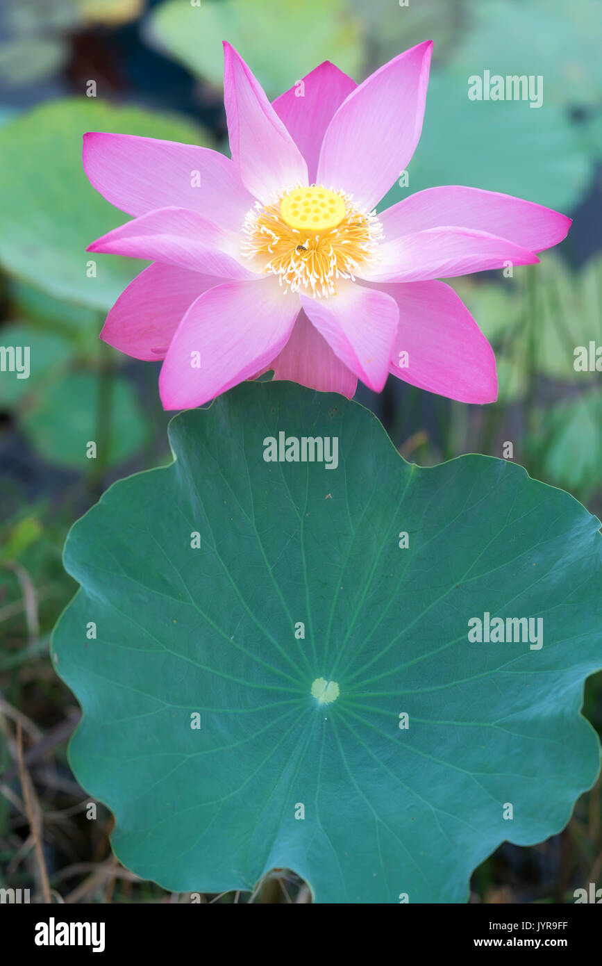 Pink Lotus Blossoming In The Pond This Is The Flower Symbolizes The