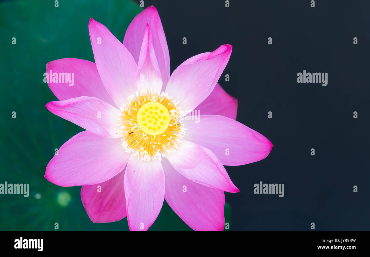 Pink lotus blossoming in the pond this is the flower symbolizes the pink lotus blossoming in the pond this is the flower symbolizes the beautiful and pure buddhism izmirmasajfo