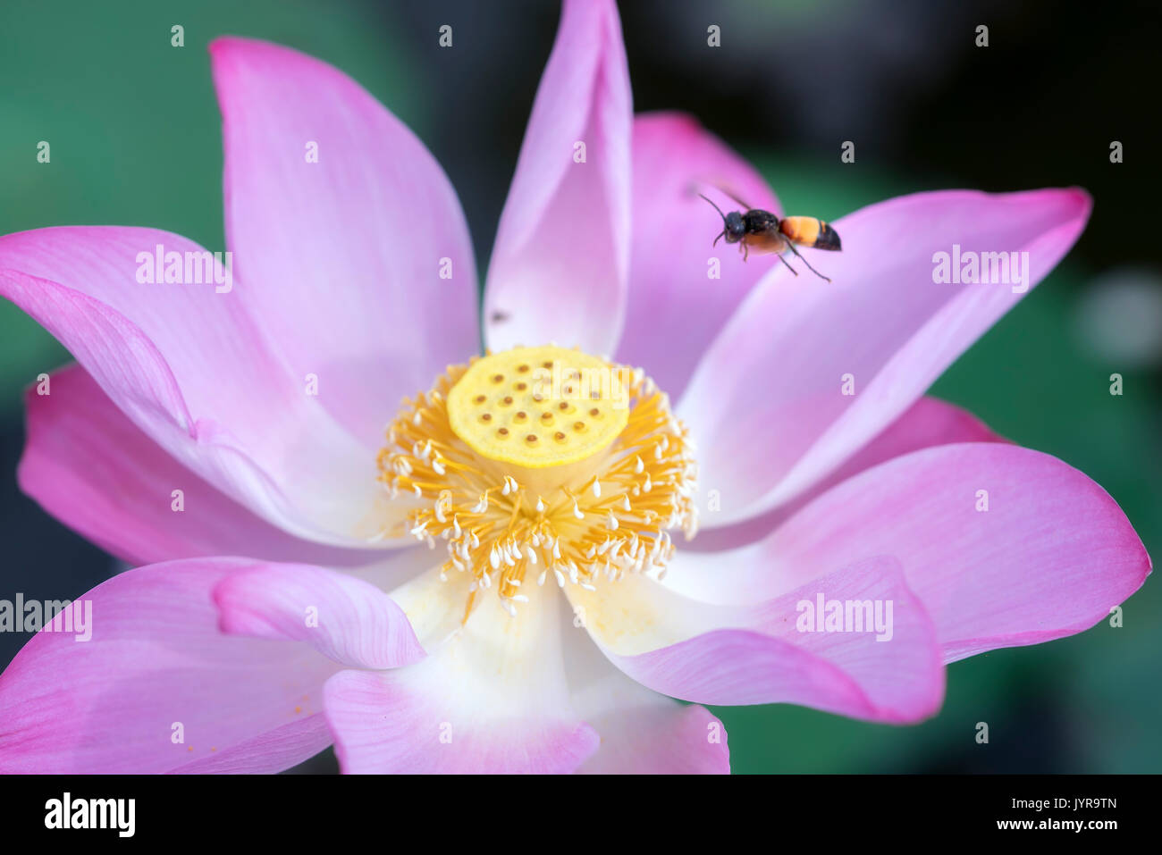 Pink lotus blossoming in the pond with bee, this is the flower symbolizes the beautiful and pure Buddhism - Stock Image