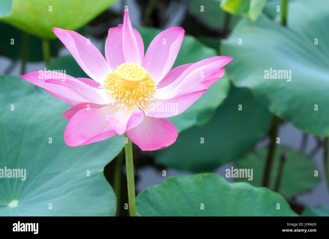 Lotus Flower In Sunlight Stock Photos Lotus Flower In Sunlight