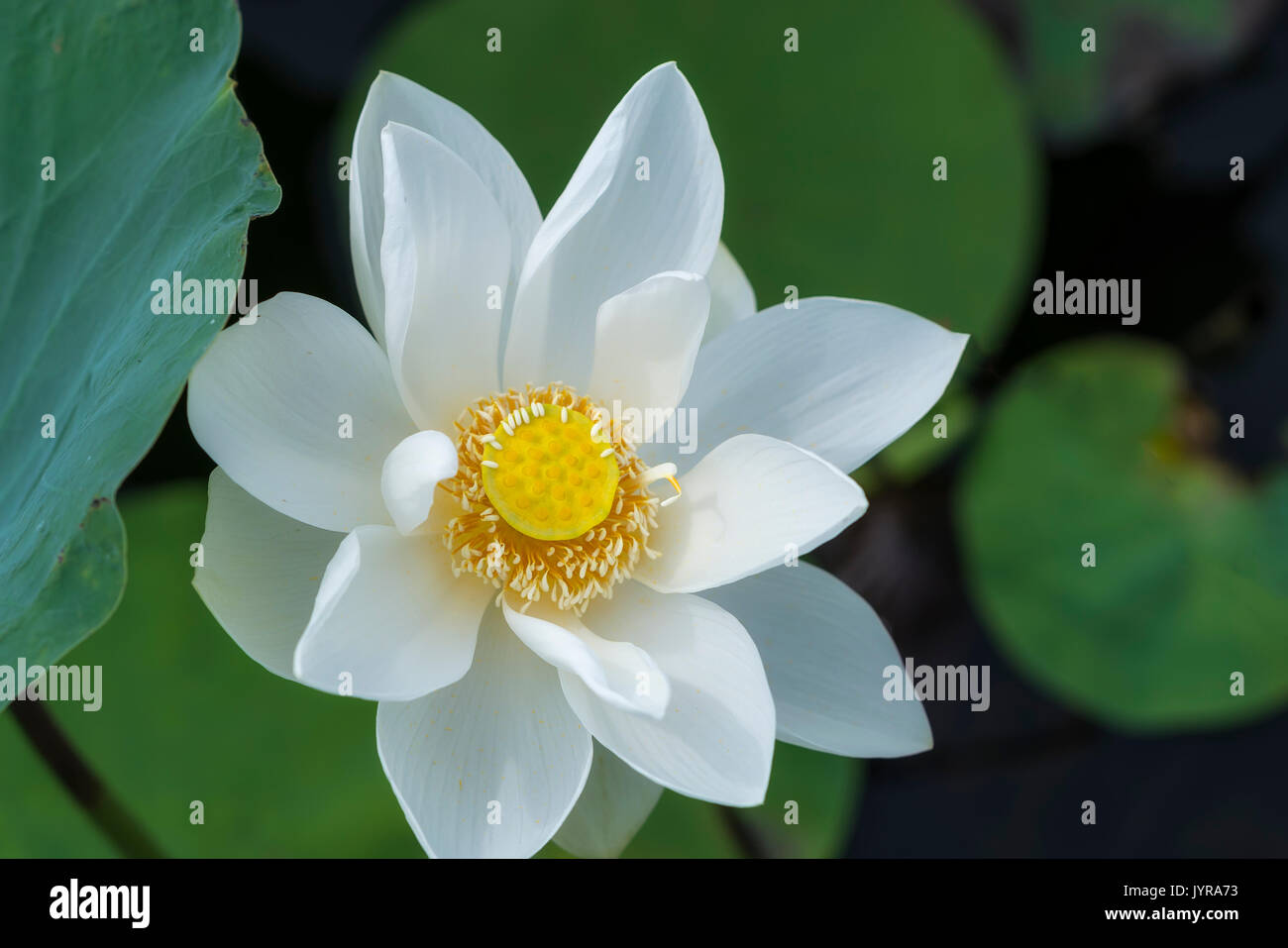 White Lotus Blossoming In The Pond This Is The Flower Symbolizes