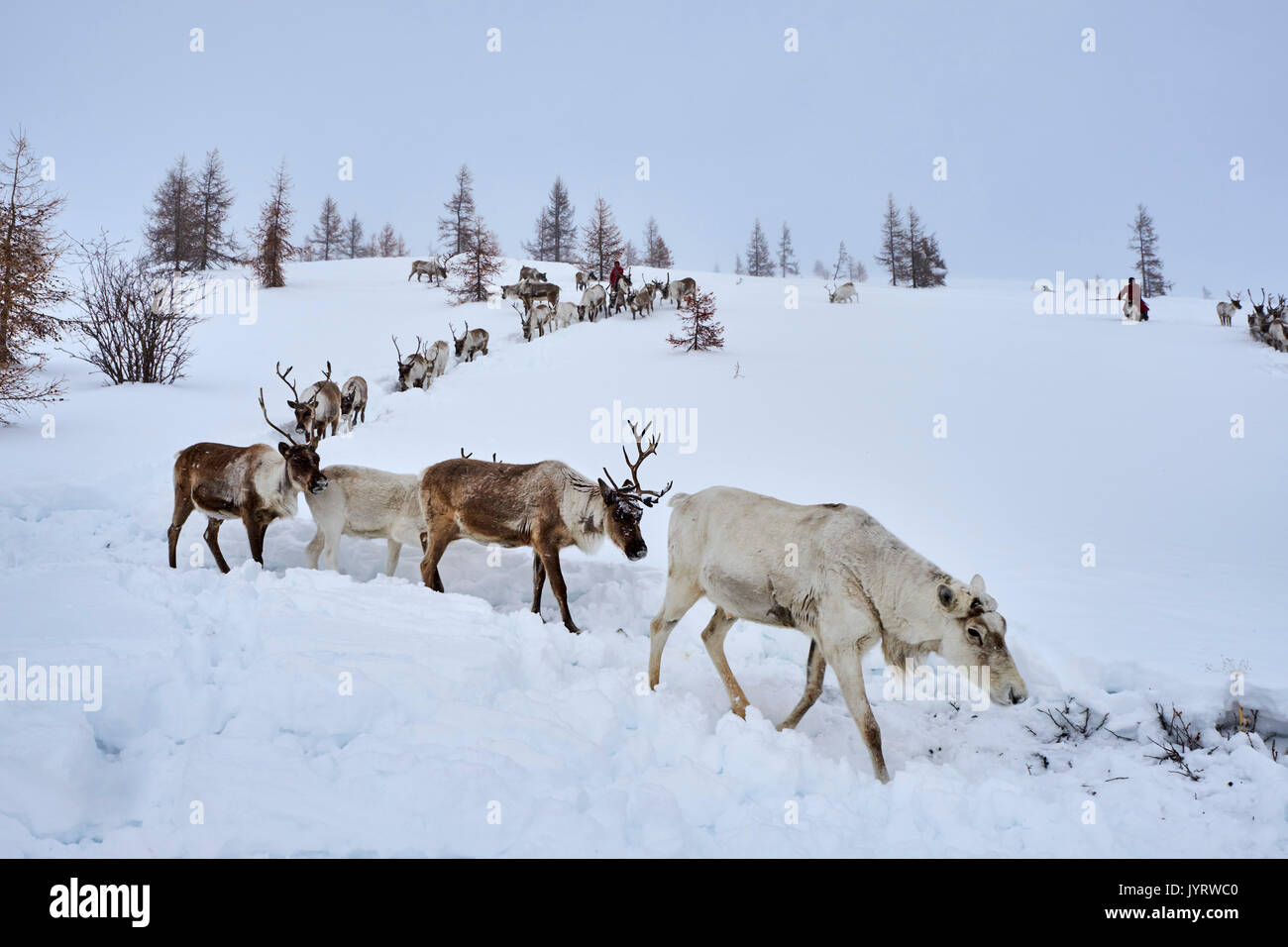 Mongolia, Khovsgol privince, the Tsaatan, reindeer herder, winter migration Stock Photo