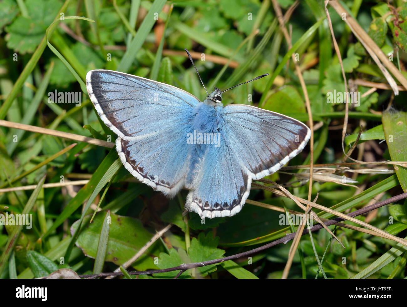 Chalkhill Blue Butterfly - Lysandra coridon Male on grass - Stock Image