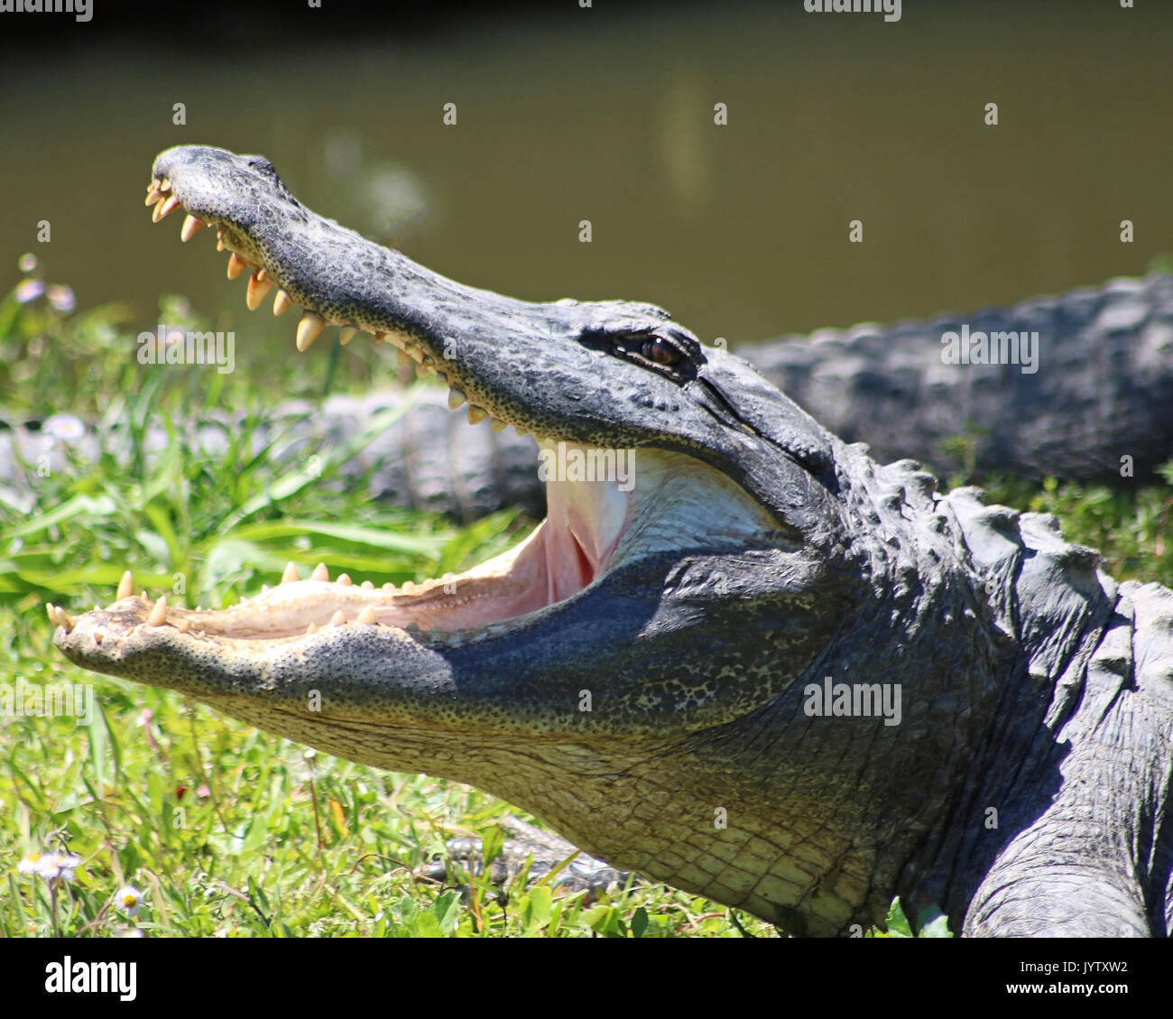 Alligator in profile open mouth - Stock Image