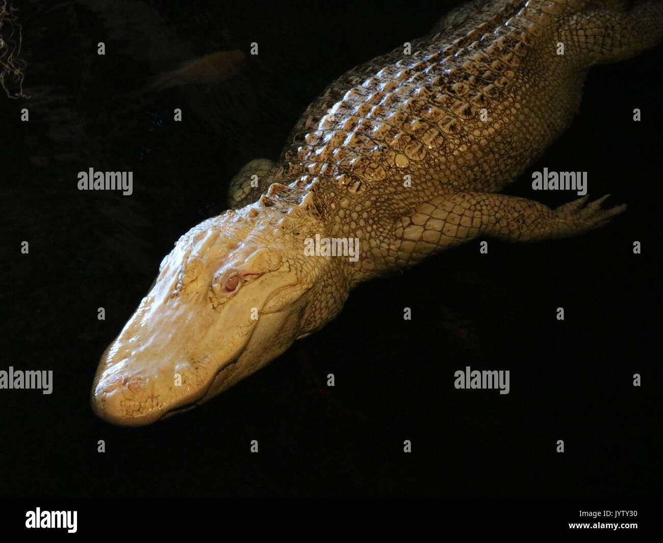 Albino Alligator floating in dark water Stock Photo