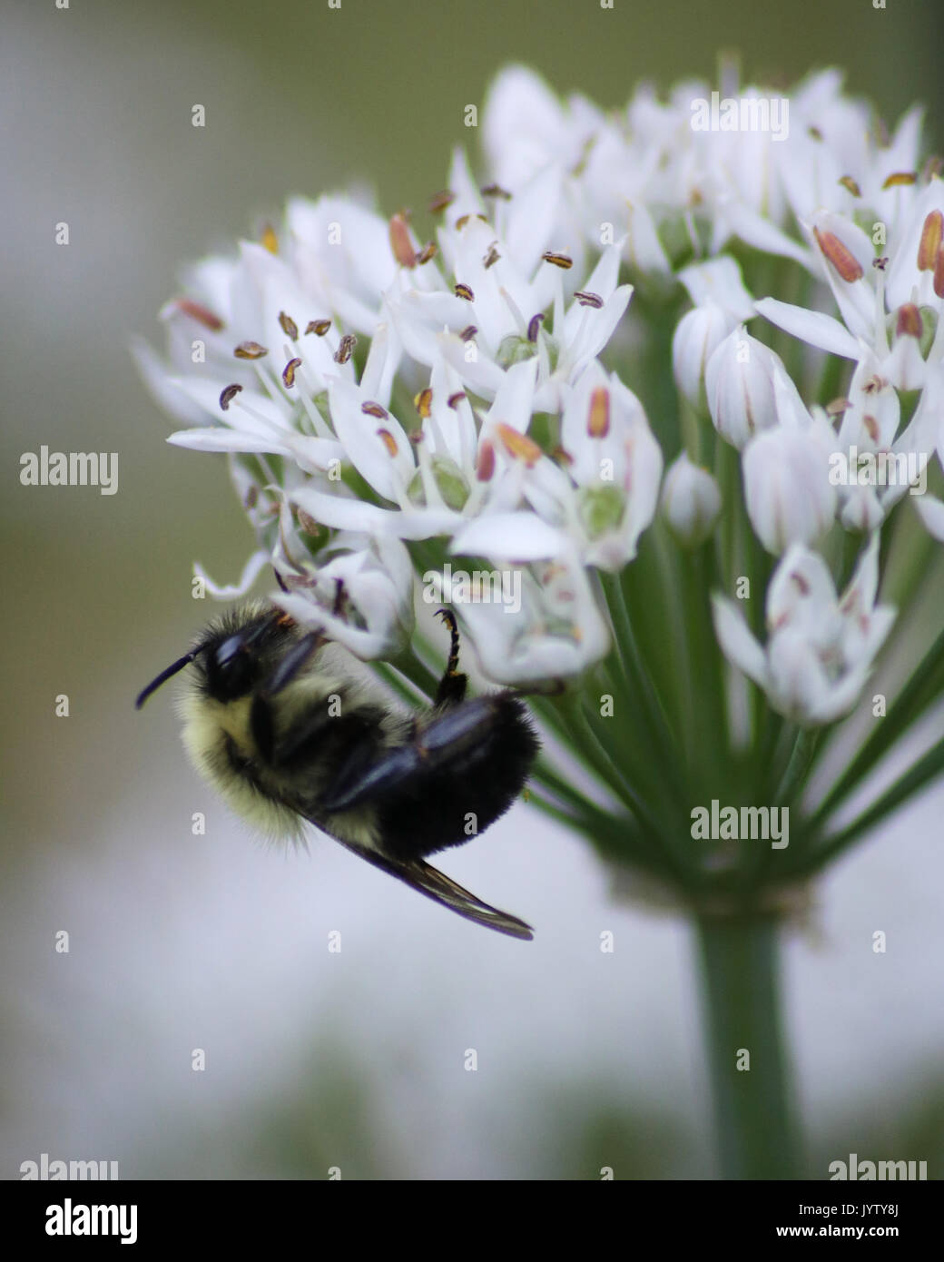 Eastern Carpenter Bee on pretty white Garlic plant flowers - Stock Image