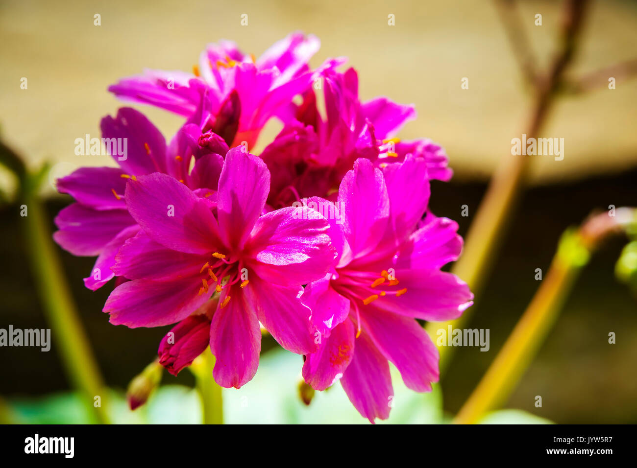 Small Pink Flowers Of An Alpine Perennial Plant Lewisia Elise Stock