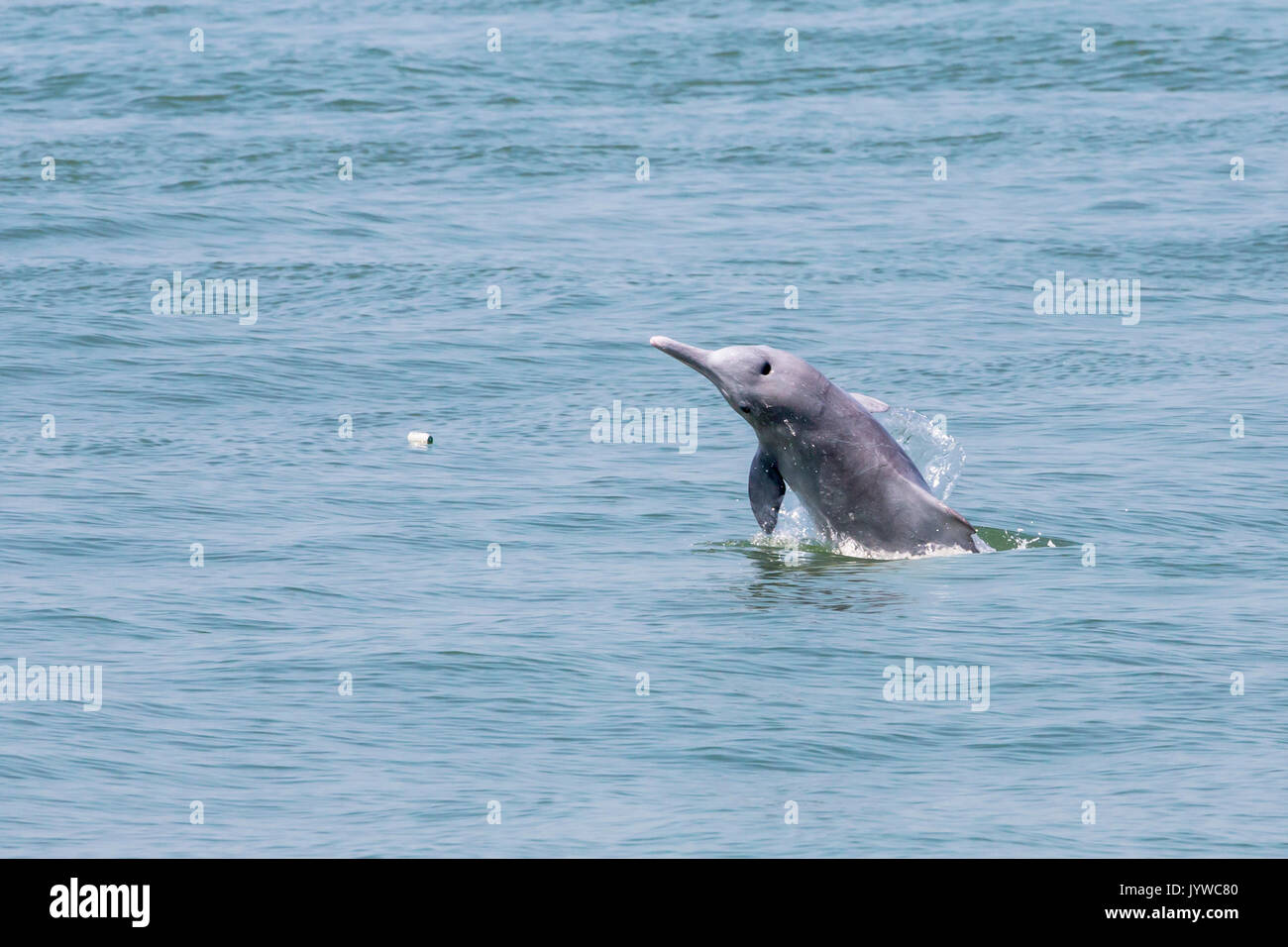A young Indo-Pacific Humpback Dolphin (Sousa chinensis) breaching in Hong Kong waters, with rubbish (plastic bottle) in the sea. - Stock Image