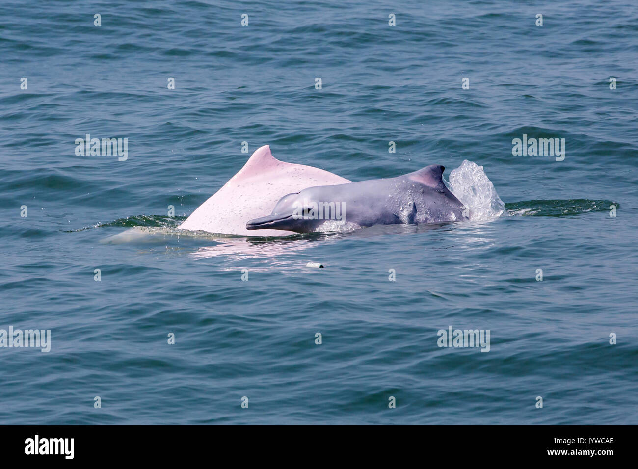 Indo-Pacific Humpback Dolphin (Sousa chinensis) mother and baby in HK waters. - Stock Image