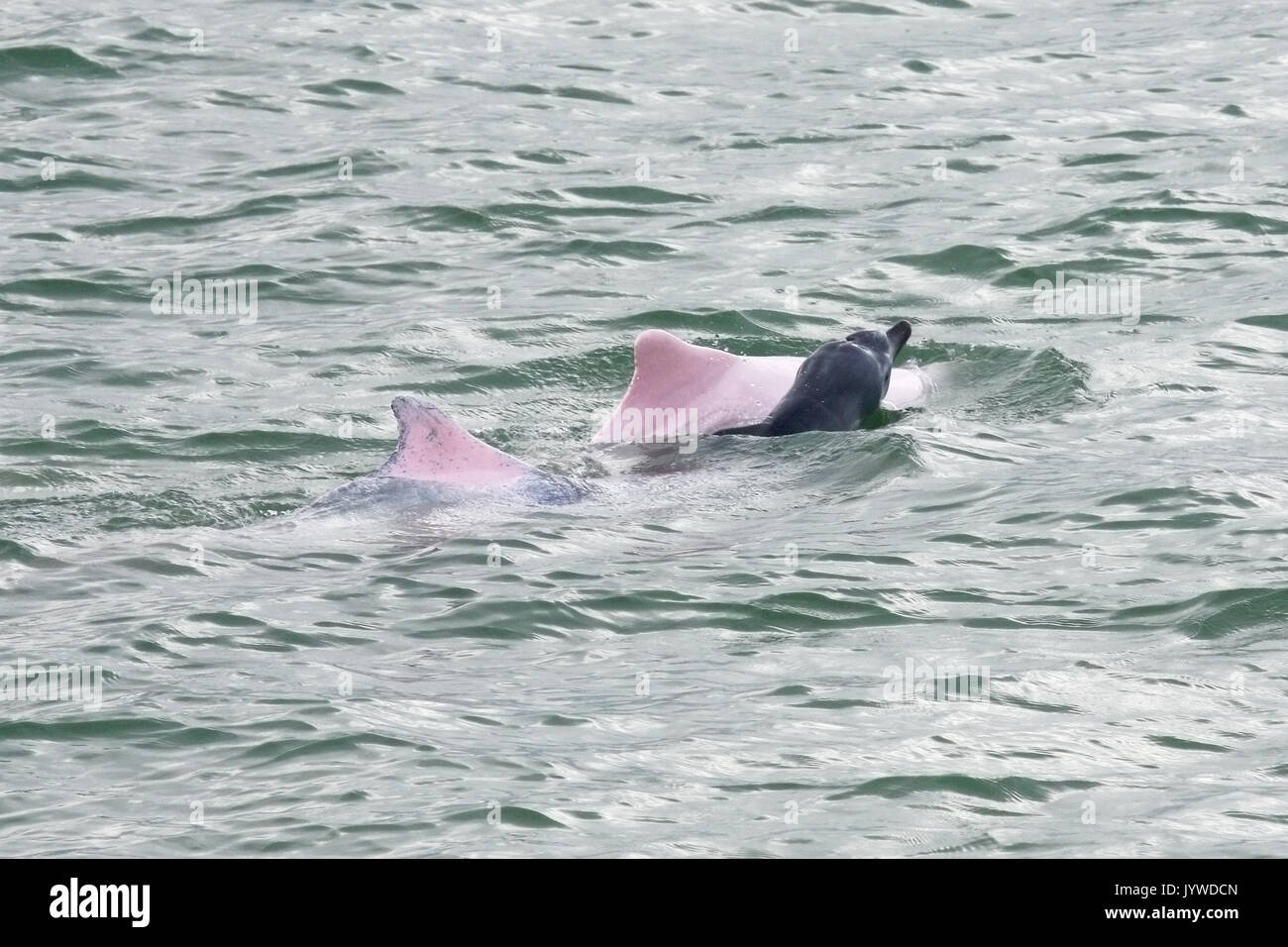 Indo-Pacific Humpback Dolphin (Sousa chinensis) mother and new born baby with foetal folds in HK waters. - Stock Image