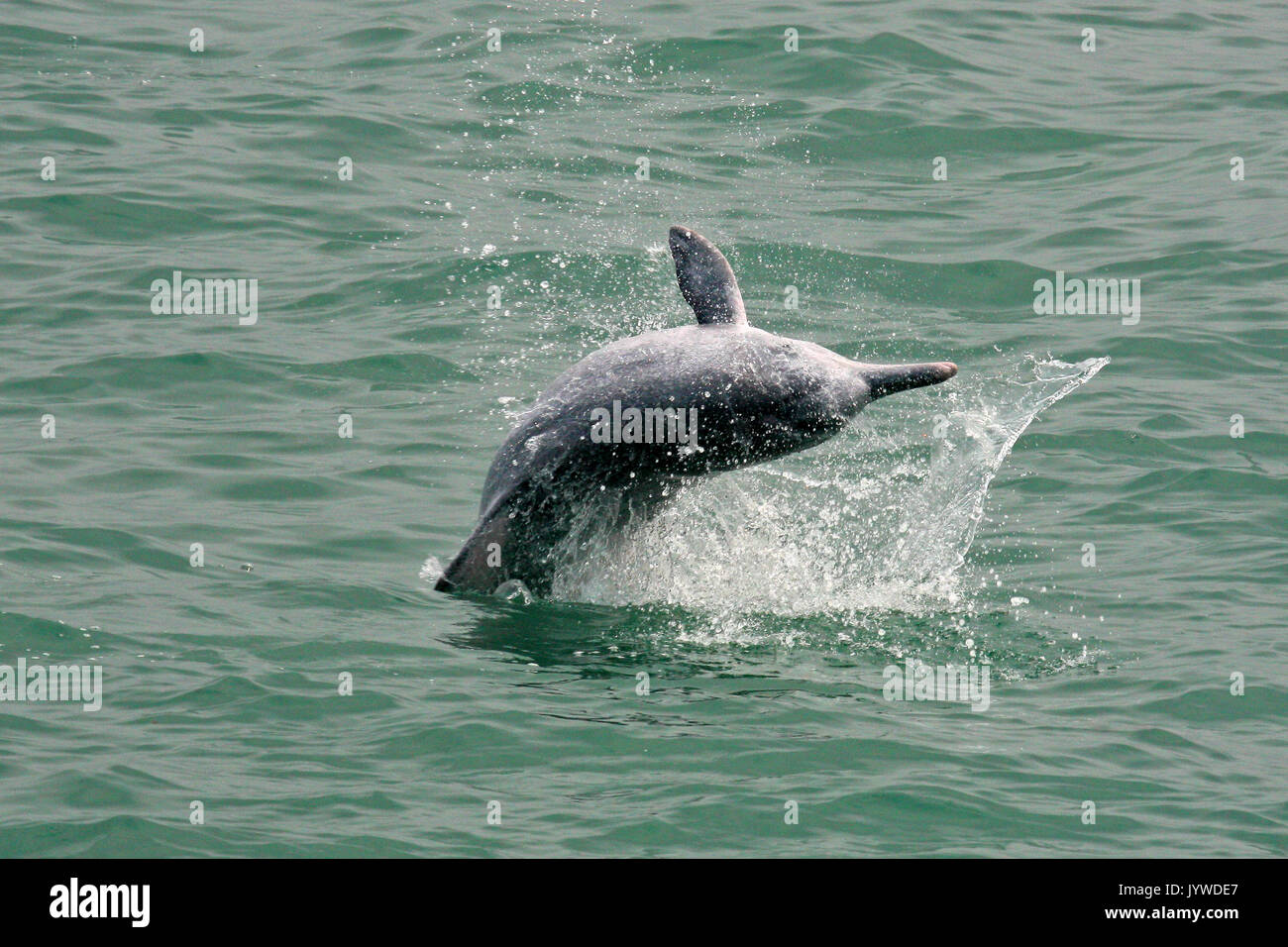A young Indo-Pacific Humpback Dolphin (Sousa chinensis) breaching / jumping in Hong Kong waters. - Stock Image