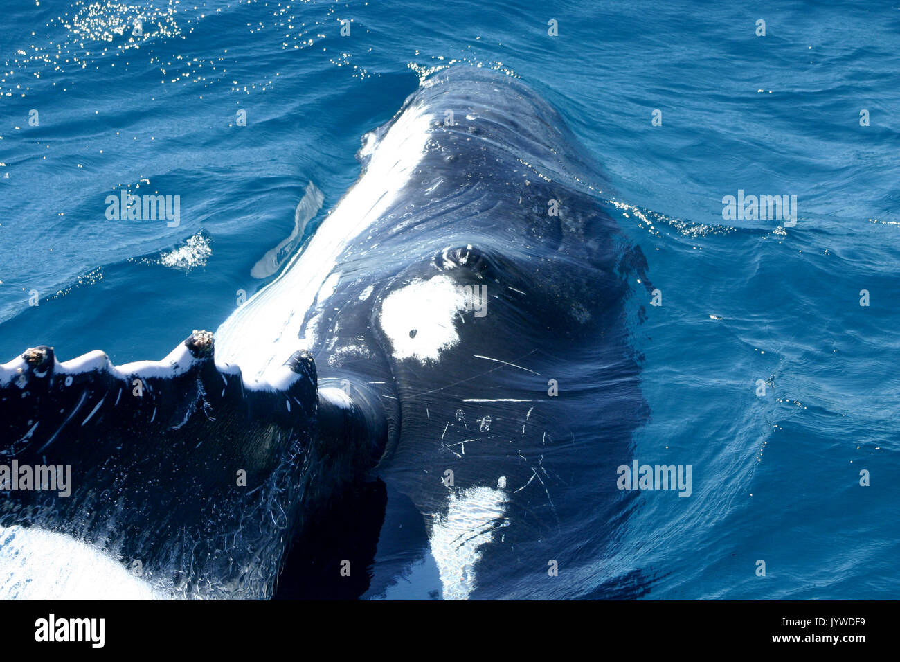 Close-up encounter with a curious Humpback Whale (Megaptera novaeangliae) at Hervey Bay, Australia. Photo series Stock Photo