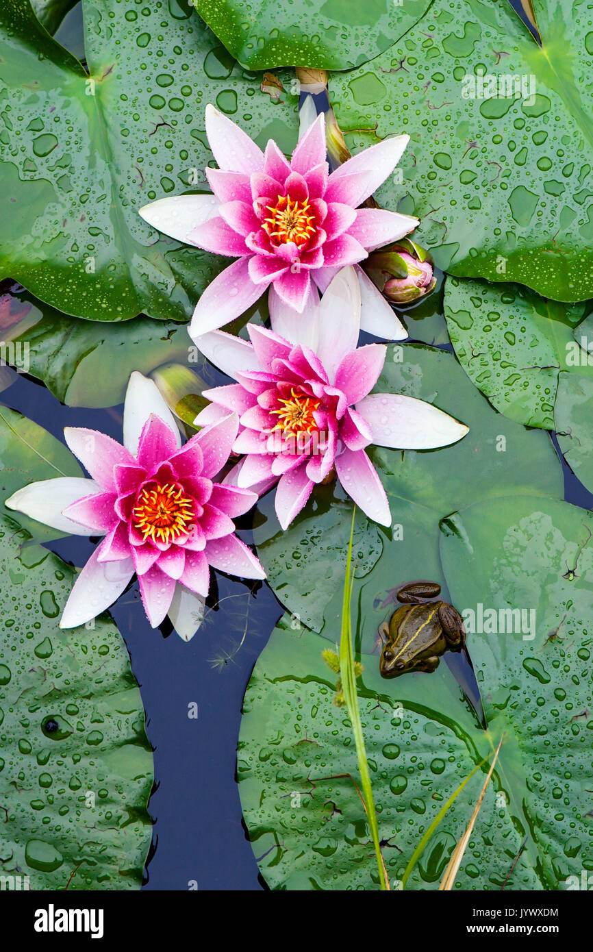 Water lilies and a frog - Stock Image