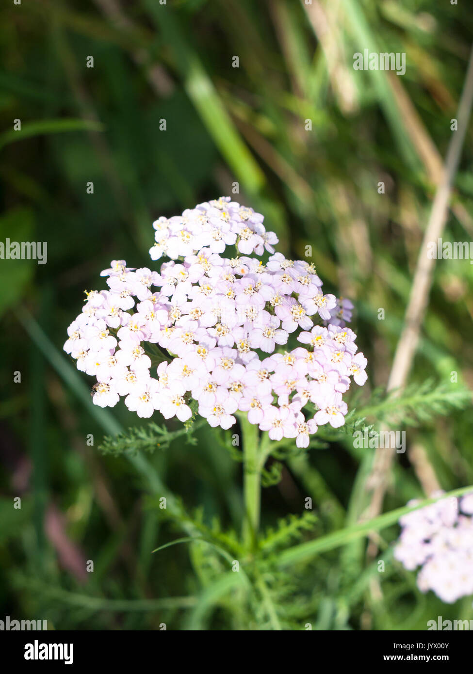 Beautiful pink flower small weed stock photos beautiful pink close up of pink white cow parsley seen from above in summer light england mightylinksfo