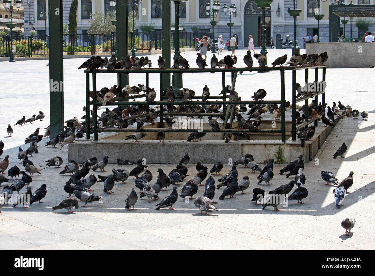 Pigeons flee from the scorching sun into the shade in Athens, Greece - Stock Image