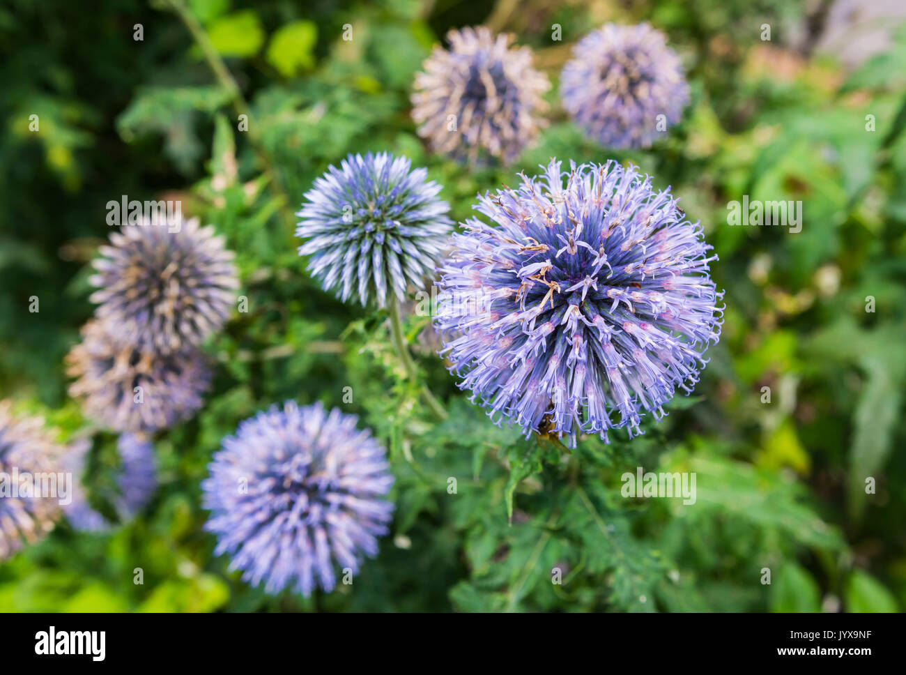 Echinops ritro plant, also known as Southern globethistle, a perennial thistle growing in Summer in West Sussex, England, UK. Globe Thistle. - Stock Image