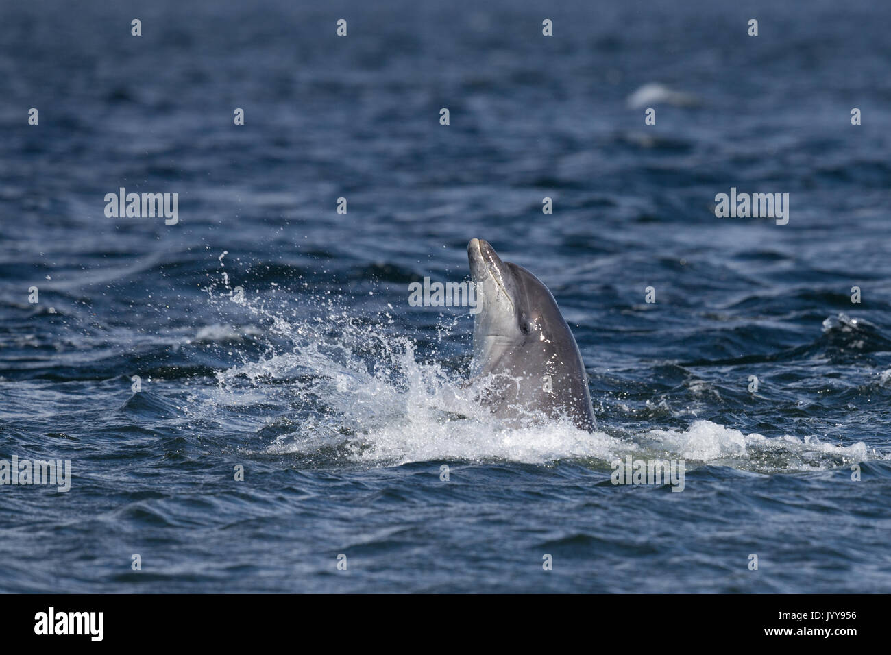 Bottlenose dolphins spy-hopping off Chanonry Point - Stock Image