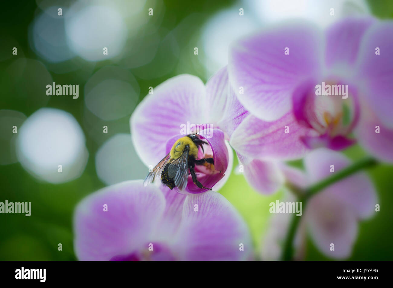 Bee Pollinating Pink Orchid Flower - Stock Image