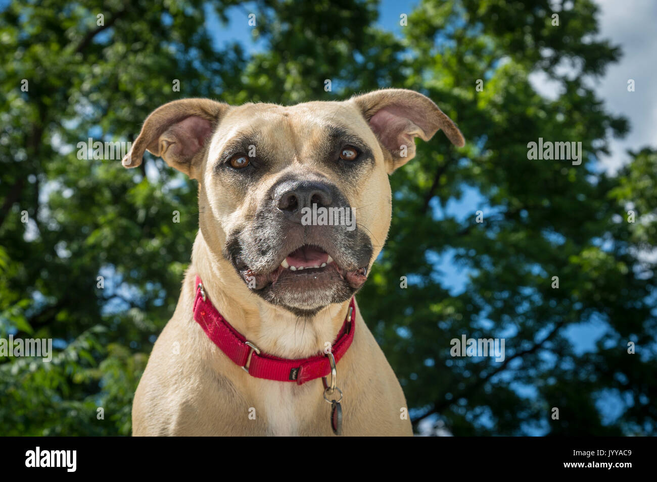 Happy Portrait Of Pit Bull Dog - Stock Image