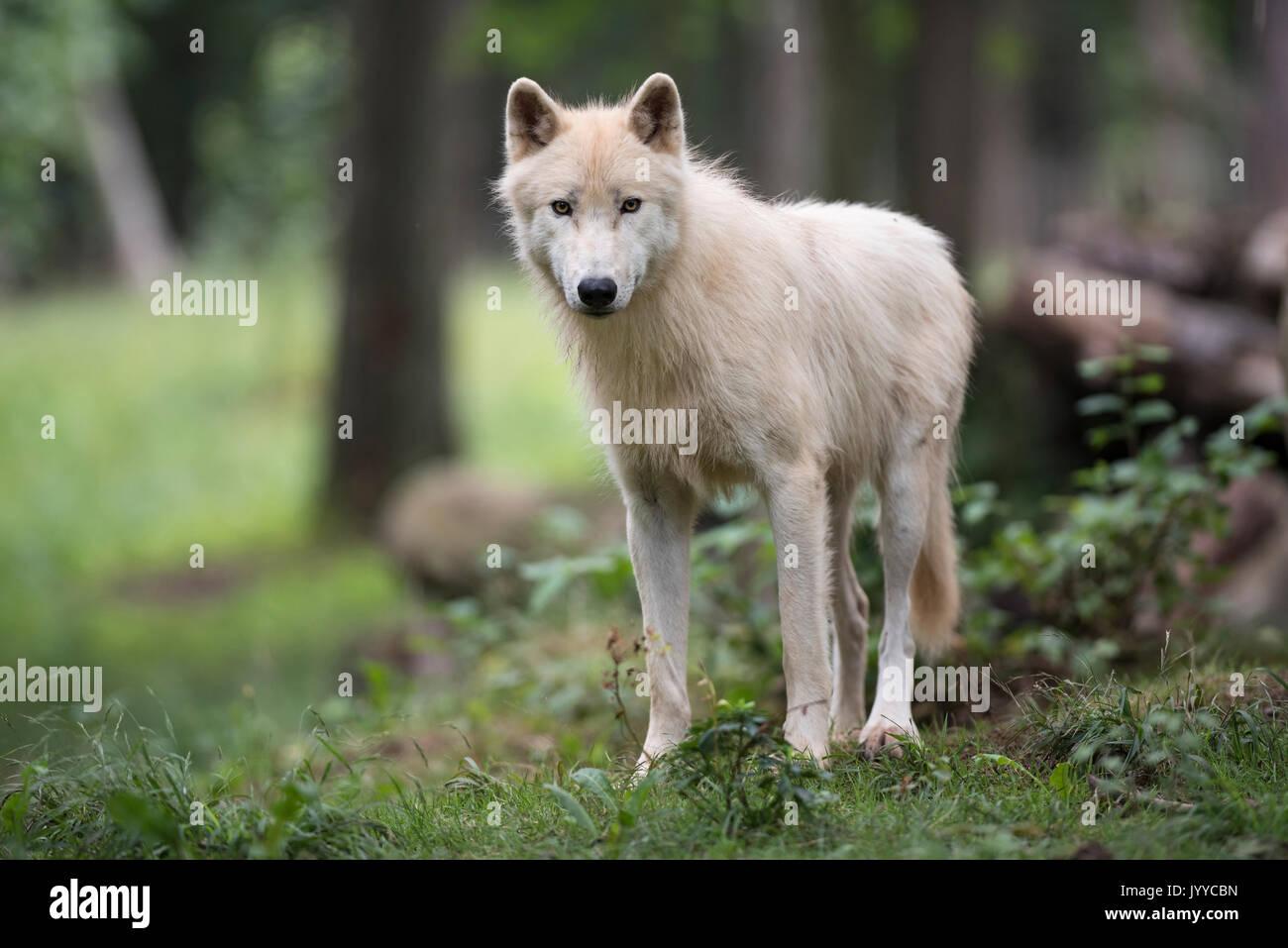 Arctic wolf, Canis lupus Stock Photo