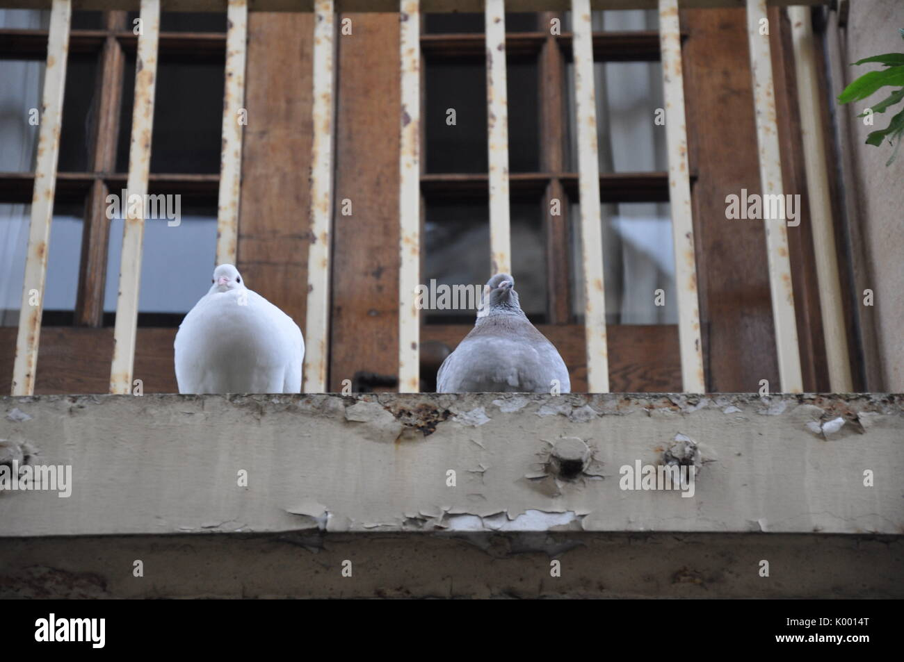Two pigeons on ledge - Stock Image