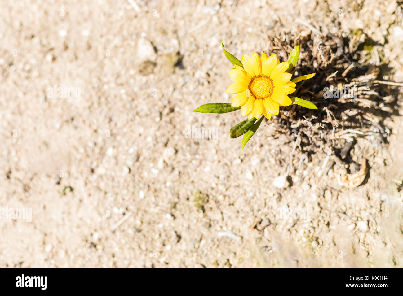 Yellow African daisy flower on earthy brown and dusty background. - Stock Image