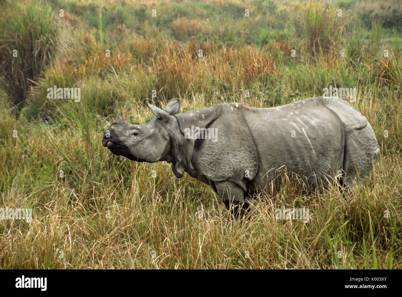 Asian one-horned rhinoceros, Kaziranga National Park, Assam, India - Stock Image