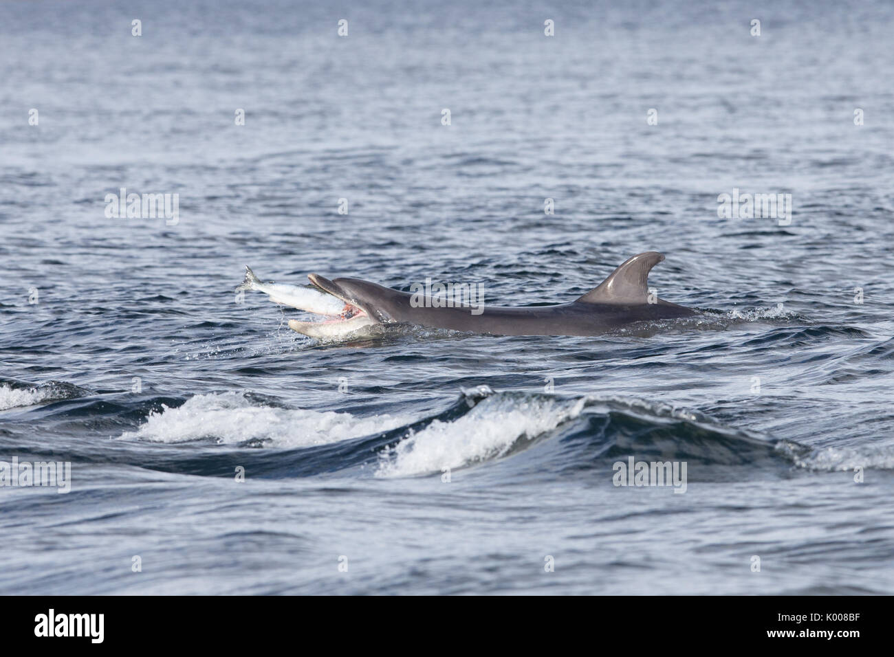 Bottlenose dolphin hunting & feeding on salmon in the Moray Firth Stock Photo