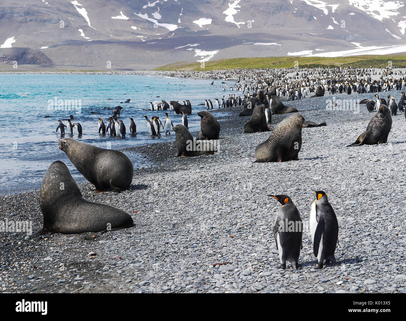 Colony of king penguins and fur seals together on rocky beach during mating season on South Georgia Island in the South Atlantic Ocean. - Stock Image