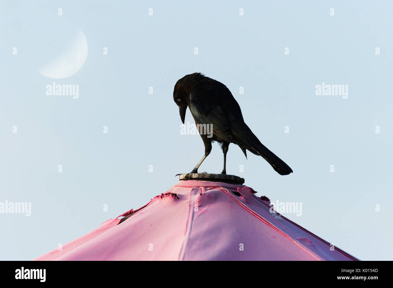 Raven bird black is a black Raven bird sstanding looking contemplative and serious. - Stock Image