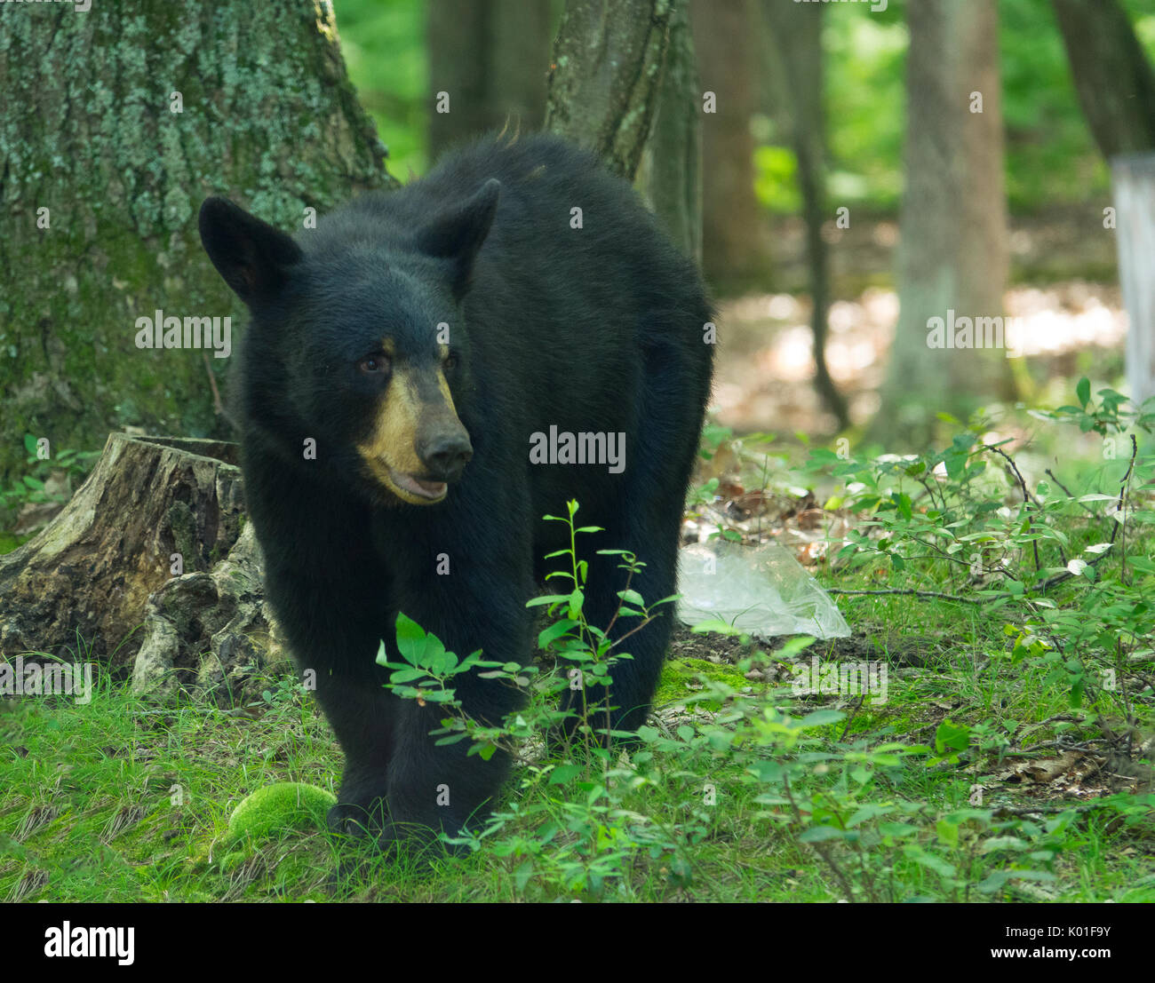 Black bear on the look-out for intruders - Stock Image